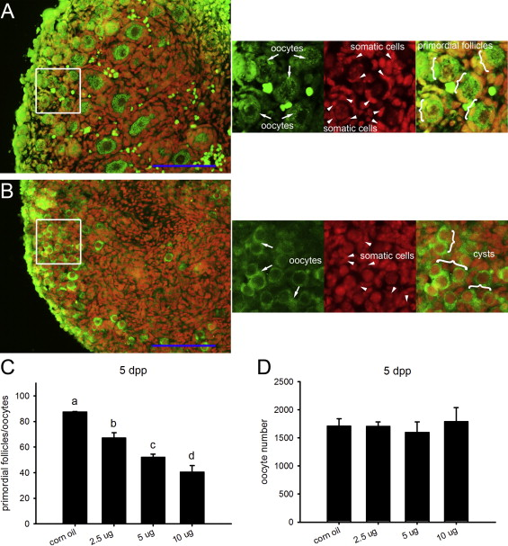 DEHP exposure impairs mouse oocyte cyst breakdown and