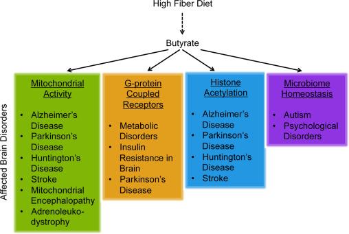 酪酸とその神経保護効果のメカニズムの提案