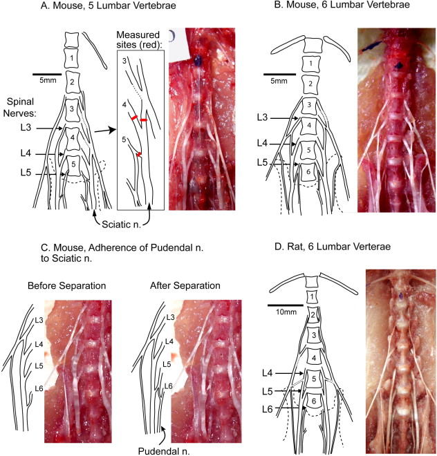 Species and strain differences in rodent sciatic nerve anatomy ...