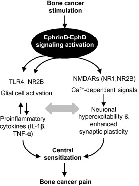 EphrinB-EphB receptor signaling contributes to bone cancer