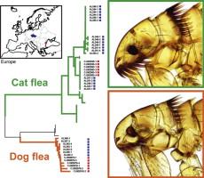 cat fleas vs dog fleas