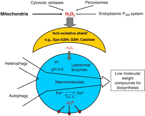 Lysosomes And Oxidative Stress In Aging And Apoptosis Sciencedirect