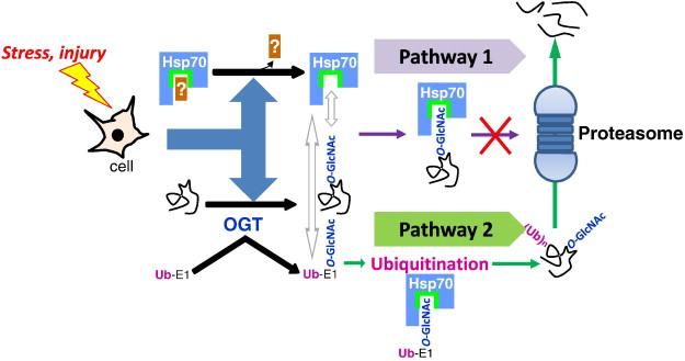 Dysregulation Of The Nutrient Stress Sensor O GlcNAcylation
