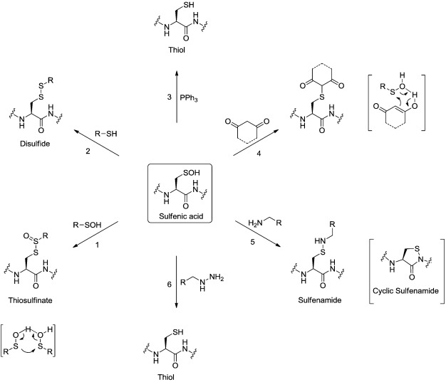 Sulfenic acid chemistry, detection and cellular lifetime