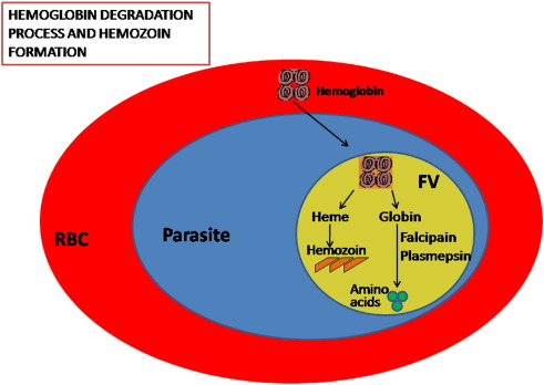 Malarial hemozoin: From target to tool - ScienceDirect