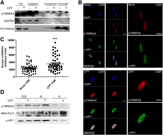 p19INK4d is involved in the cellular senescence mechanism