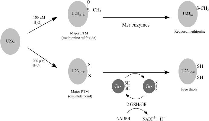 Disulfide bond formation protects Arabidopsis thaliana glutathione ...