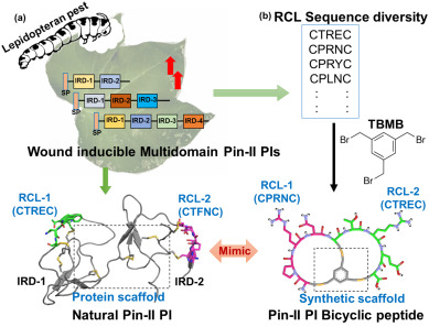 Phyto-inspired cyclic peptides derived from plant Pin-II
