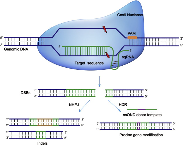 CRISPR-Cas9 therapeutics in cancer: promising strategies and