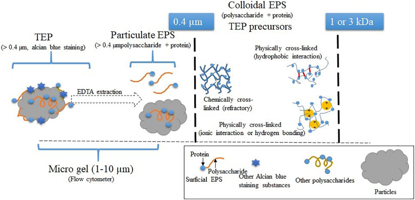 Comparison of microgels, extracellular polymeric substances (EPS