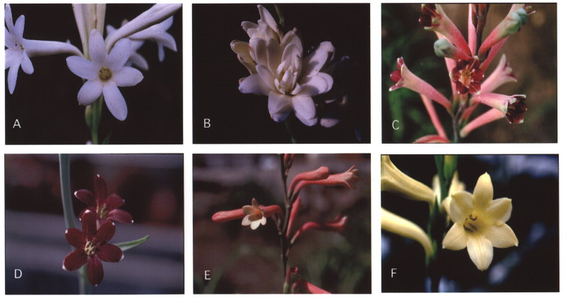 Cultivation download tuberose