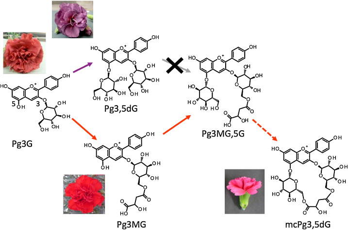 Recent advances in understanding the anthocyanin modification steps putative metabolic pathways for anthocyanin modification in the carnation anthocyanidin 3 glucosides such as the pelargonidin 3 glucoside pg3g shown ccuart Images