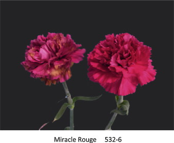 Expression levels of ethylene biosynthetic genes and senescence flowers of carnation dianthus caryophyllus l miracle rouge and line 532 6 on day 25 the cut flowers were kept in distilled water at 23 c ccuart Images