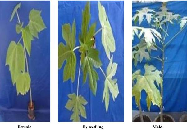 Transmission of resistance to papaya ringspot virus (PRSV