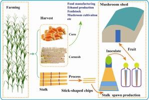 Production of stalk spawn of an edible mushroom (Pleurotus