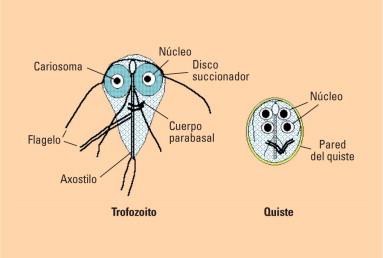 morfológia giardia