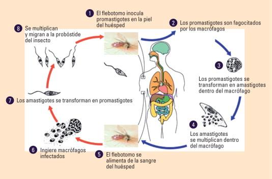 consecuencias inmunopatológicas de las infecciones parasitarias