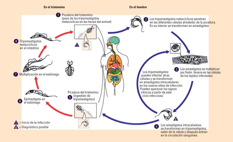 tripanosomiasis causas sintomas y tratamiento
