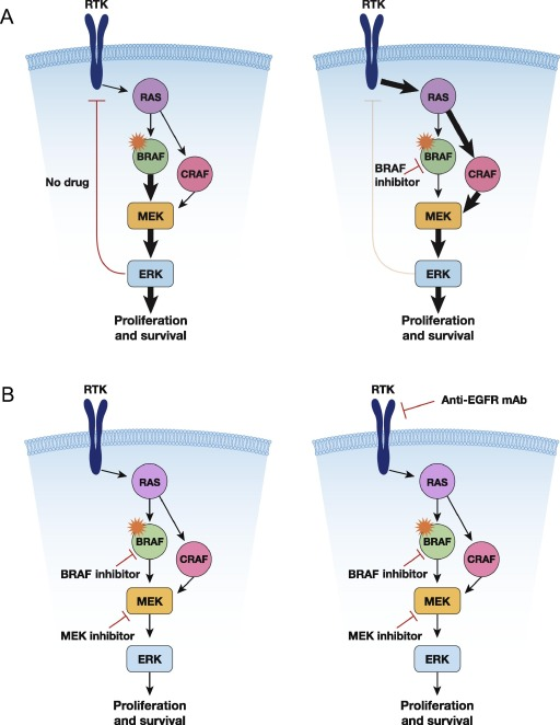 Targeting Braf In Metastatic Colorectal Cancer Maximizing Molecular Approaches Sciencedirect