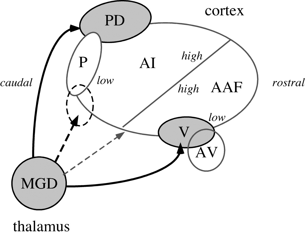 """Ventral"""" area in the rat auditory cortex: A major auditory field ..."""