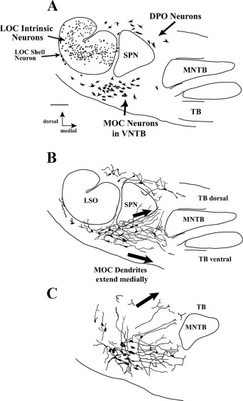 Dendrites of medial olivocochlear neurons in mouse - ScienceDirect