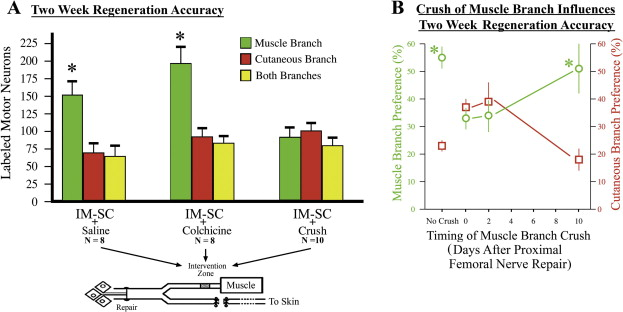 Accuracy of regenerating motor neurons: Influence of