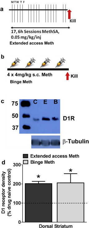 Methamphetamine reduces expression of caveolin-1 in the dorsal