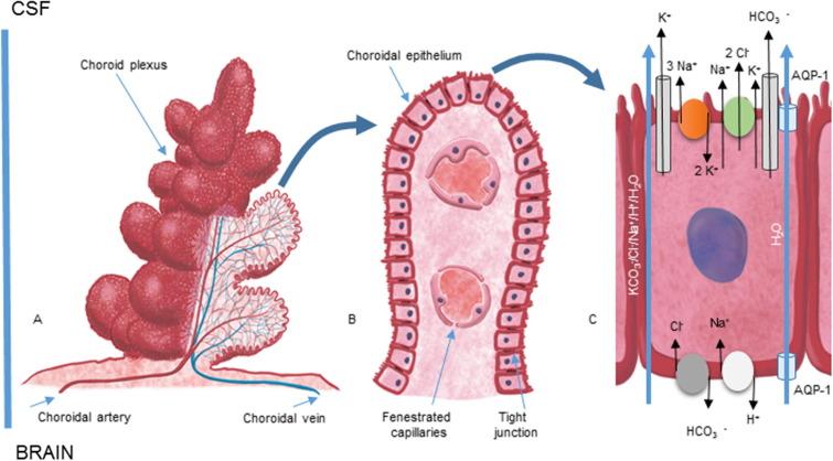 Role Of Choroid Plexus In Cerebrospinal Fluid Hydrodynamics