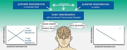 Prenatal and pubertal testosterone affect brain