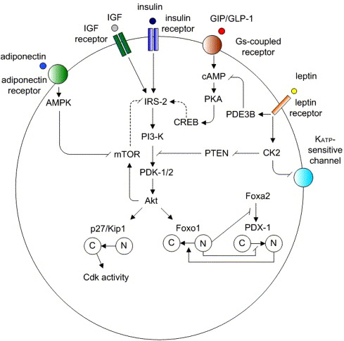 Leptin And Adiponectin Regulate Compensatory Beta Cell Growth In