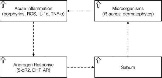 A hypothetical pathogenesis model for androgenic alopecia