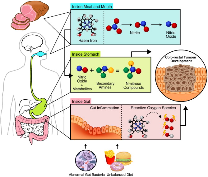 The Role Of Red And Processed Meat In Colorectal Cancer Development A Perspective Sciencedirect