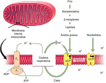 función del receptor de insulina para diabetes tipo 2
