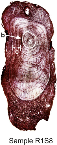 A study of the wood anatomy of Picea abies roots and their
