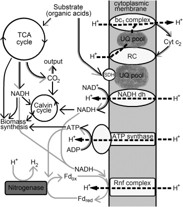 Flux Balance Analysis Of Photoheterotrophic Growth Of Purple