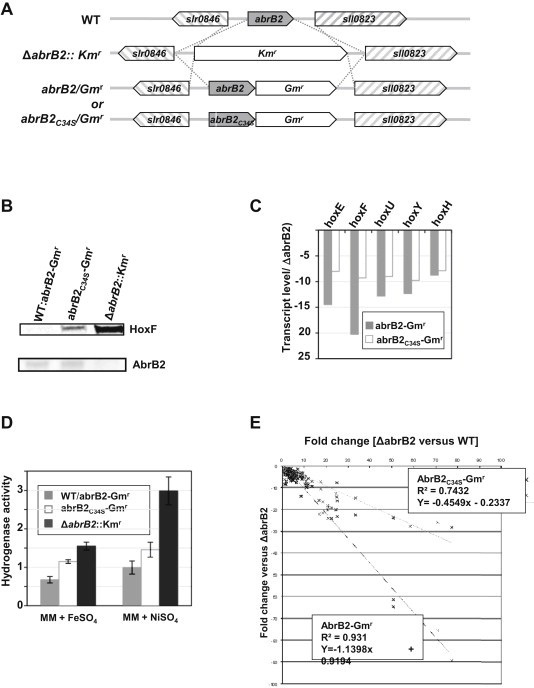 The activity of the Synechocystis PCC6803 AbrB2 regulator of ...