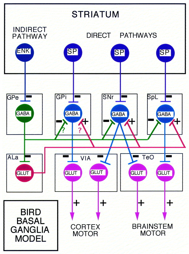 Functional circuitry of the avian basal ganglia: implications for ...