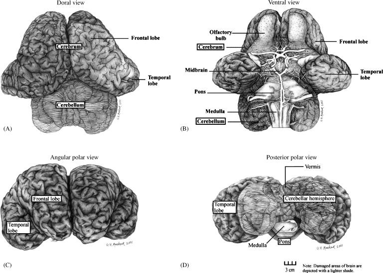 Elephant Brain Part I Gross Morphology Functions Comparative