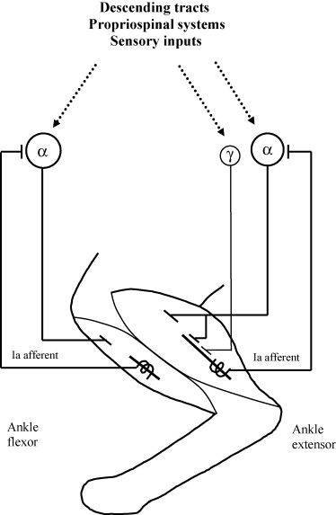 Muscle proprioceptive feedback and spinal networks - ScienceDirect