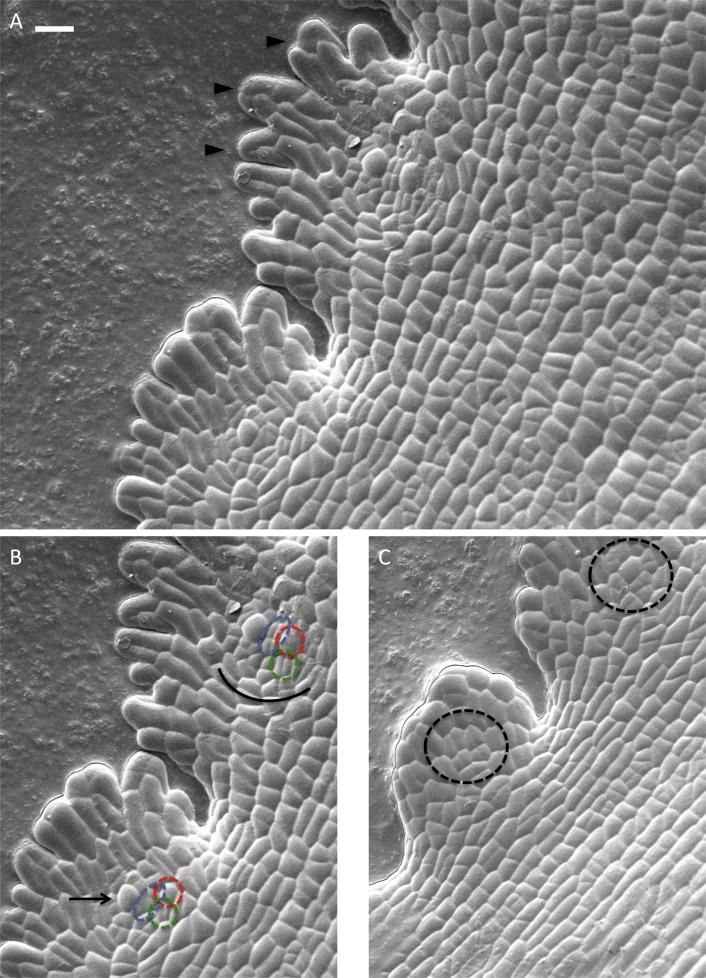 Hydathode pit development in the alpine plant Saxifraga cochlearis ...