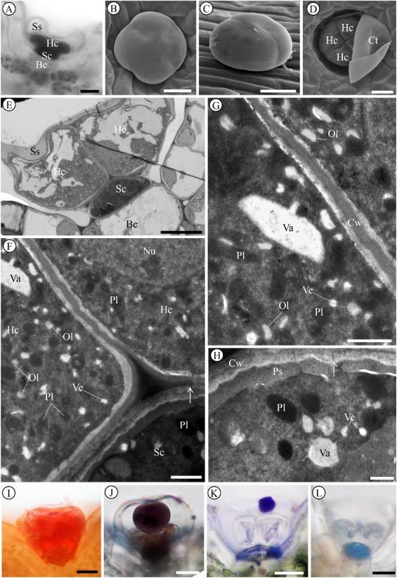 Glandular trichomes in the tree-basil (Ocimum gratissimum L