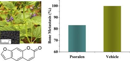 Psoralen inhibits bone metastasis of breast cancer in mice