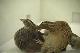 Male japanese quail became sexually