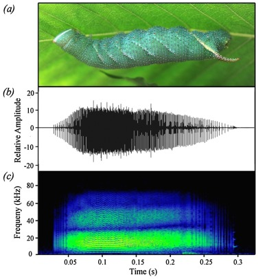 Why do caterpillars whistle at birds? Insect defence sounds startle