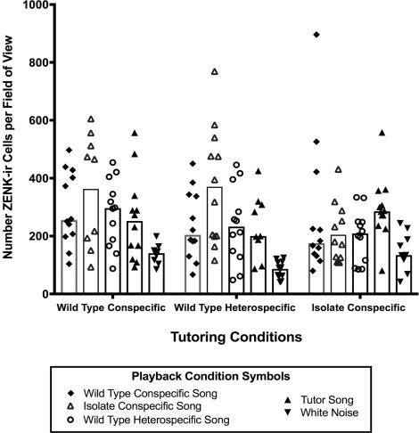 The neural response of female zebra finches (Taeniopygia guttata) to