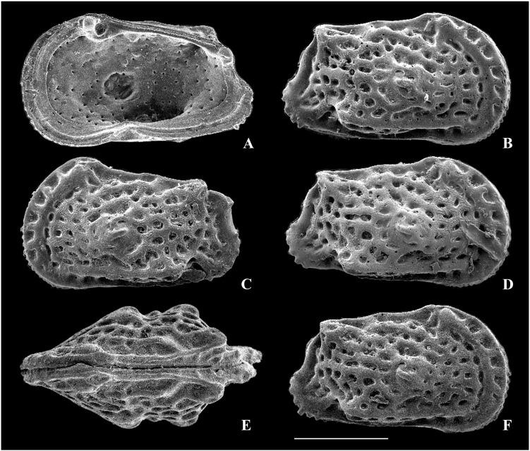 Neohornibrookella sorrentae (Chapman and Crespin, 1928) and