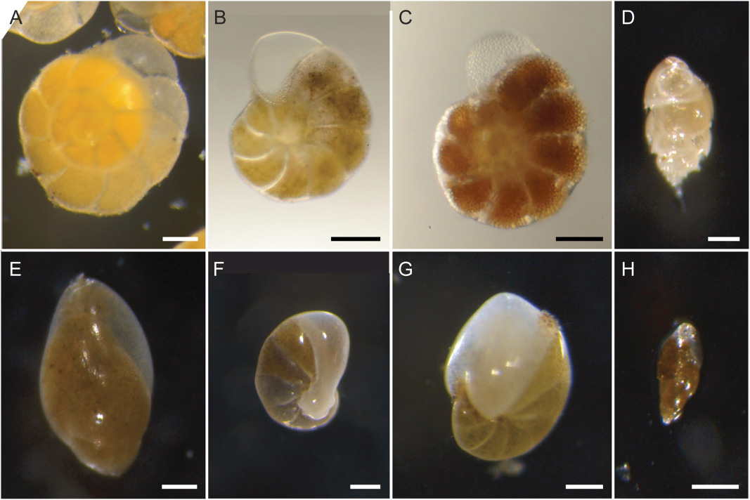 An overview of cellular ultrastructure in benthic foraminifera ...