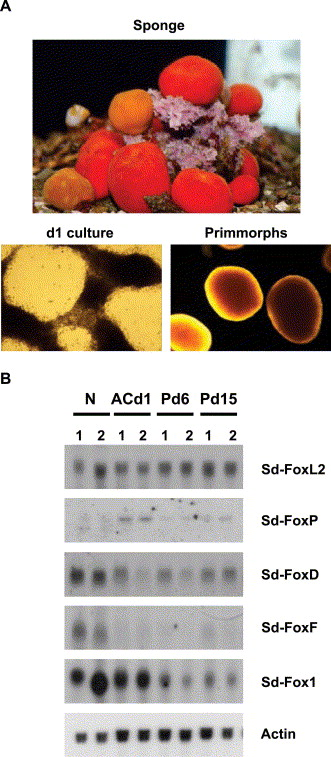 Isolation And Characterization Of Five Fox (Forkhead) Genes From The Sponge  Suberites Domuncula - ScienceDirect