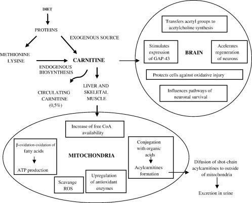 Az l-karnitin tulajdonságairól és hasznáról