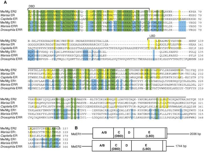 Molecular characterization of an estrogen receptor and